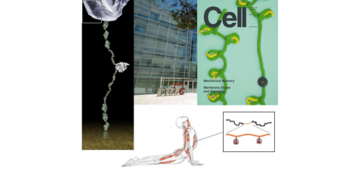 4 years PhD position to join the Single-Molecule Mechanobiochemistry Laboratory led by Jorge Alegre-Cebollada at the National Institute of Cardiovascular Research (CNIC), Madrid (Spain)