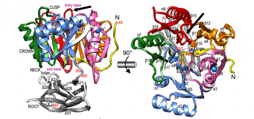 Structure and mechanism of a bacterial host-protein citrullinating virulence factor, Porphyromonas gingivalis peptidylarginine deiminase. Sci Rep. 2015 Jul 1;5:11969. doi: 10.1038/srep11969.