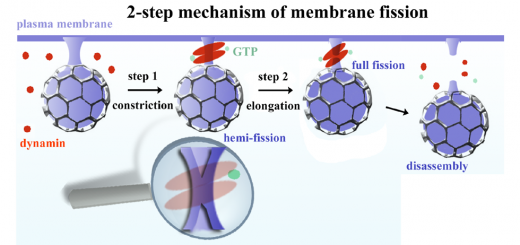 A hemi-fission intermediate links two mechanistically distinct stages of membrane fission. Nature. 2015 Aug 6;524(7563):109-13. doi: 10.1038/nature14509.