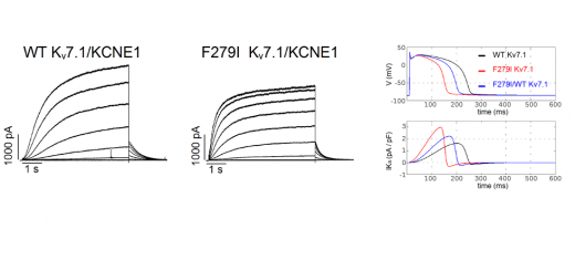 A new KCNQ1 mutation at the S5 segment that impairs its association with KCNE1 is responsible for short QT syndrome. Cardiovasc Res. 2015 Sep 1;107(4):613-23.
