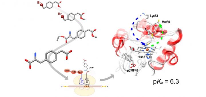 Mimicking Tyrosine Phosphorylation in Human Cytochromec by the Evolved tRNA Synthetase Technique. Chemistry. 2015 Oct 12;21(42):15004-12.