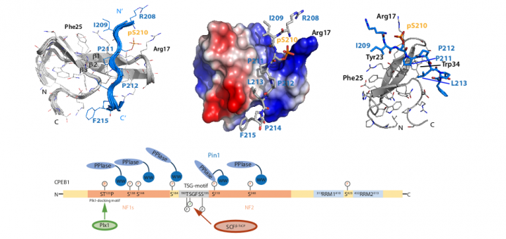 Structural Analysis of the Pin1-CPEB1 interaction and its potential role in CPEB1 degradation. Sci Rep. 2015 Oct 12;5:14990.