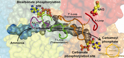 Structure of human carbamoyl phosphate synthetase: deciphering the on/off switch of human ureagenesis. Sci Rep. 2015 Nov 23;5:16950. doi: 10.1038/srep16950.