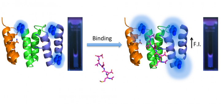 Designed Modular Proteins as Scaffolds To Stabilize Fluorescent Nanoclusters.Biomacromolecules. 2015 Dec 14;16(12):3836-44. doi: 10.1021/acs.biomac.5b01147.