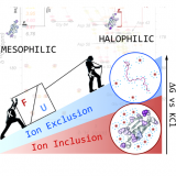 Halophilic Protein Adaptation Results from Synergistic Residue-Ion Interactions in the Folded and Unfolded States. Chem Biol. 2015 Dec 17;22(12):1597-607. doi: 10.1016/j.chembiol.2015.10.010.