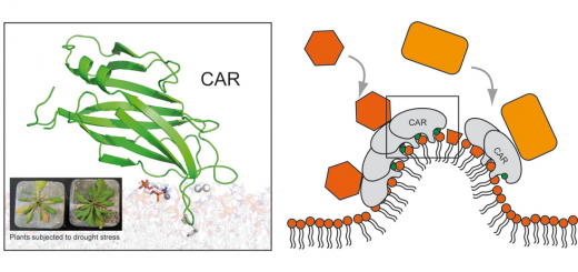 Calcium-dependent oligomerization of CAR proteins at cell membrane modulates ABA signaling. Proc Natl Acad Sci U S A. 2016 Jan 19;113(3):E396-405. doi: 10.1073/pnas.1512779113.