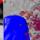 Intracellular nanoparticles mass quantification by near-edge absorption soft X-ray nanotomography. Sci Rep. 2016 Mar 10;6:22354. doi: 10.1038/srep22354.