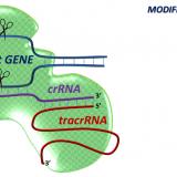 Modified RNAs in CRISPR/Cas9: An Old Trick Works Again. Angew Chem Int Ed Engl. 2016 Mar 7;55(11):3548-50. doi: 10.1002/anie.201512002.