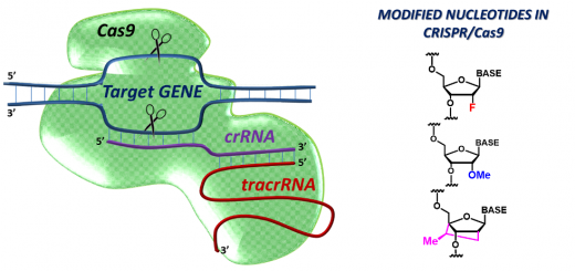 Modified RNAs in CRISPR/Cas9: An Old Trick Works Again. Angew Chem Int Ed Engl. 2016 Mar 7;55(11):3548-50. doi: 10.1002/anie.201512002.