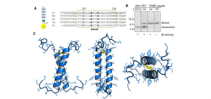 Structural Basis of p75 Transmembrane Domain Dimerization. J Biol Chem. 2016 Jun 3;291(23):12346-57. doi: 10.1074/jbc.M116.723585.
