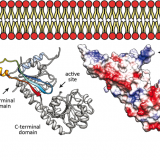 Molecular Basis of Membrane Association by the Phosphatidylinositol Mannosyltransferase PimA Enzyme from Mycobacteria. J Biol Chem. 2016 Jul 1;291(27):13955-63. doi: 10.1074/jbc.M116.723676.