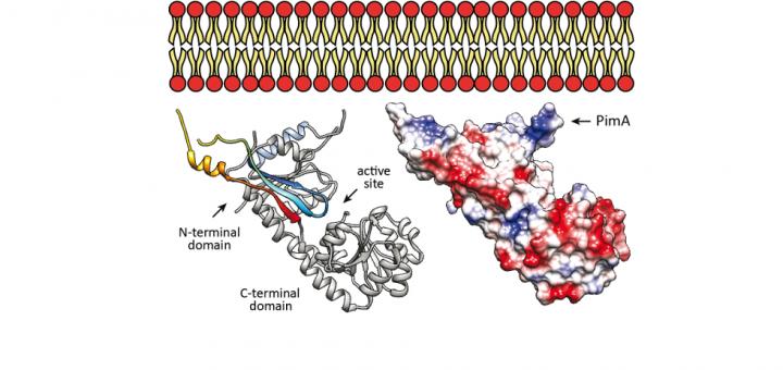 Molecular Basis of Membrane Association by the Phosphatidylinositol Mannosyltransferase PimA Enzyme from Mycobacteria. J Biol Chem. 2016 Jul 1;291(27):13955-63. doi: 10.1074/jbc.M116.723676.