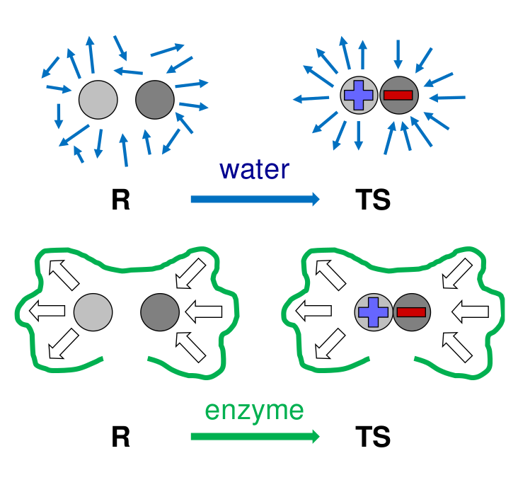 Reorganization around the substrate in the water solvent and in the active site of an enzyme