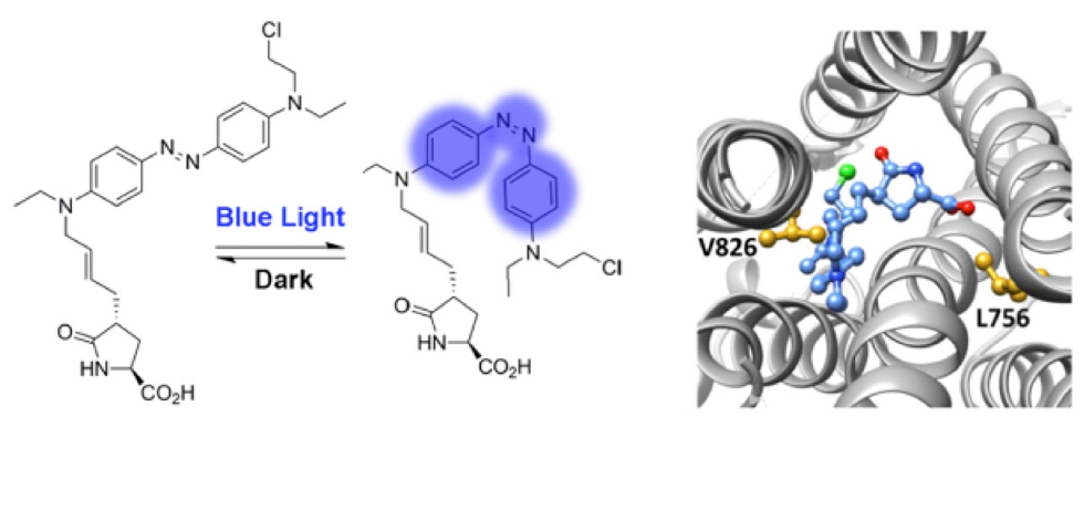 Structure of the new photoswitchable ligand and docking model in the binding pocket of the receptor.