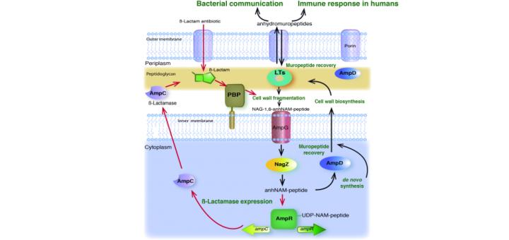 Renew or die: The molecular mechanisms of peptidoglycan recycling and antibiotic resistance in Gram-negative pathogens. Drug Resist Updat. 2016 Sep;28:91-104. doi: 10.1016/j.drup.2016.07.002.