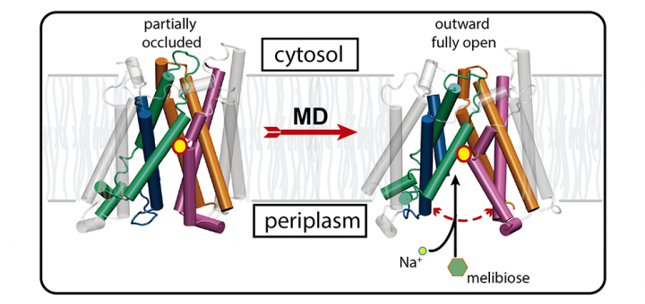 Helical unwinding and side-chain unlocking unravel the outward open conformation of the melibiose transporter. Sci Rep. 2016 Sep 23;6:33776. doi: 10.1038/srep33776.