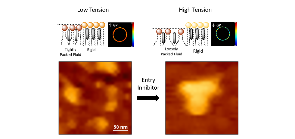 Model for the functional organization of the HIV membrane. Left: viral entry is facilitated by a highly-packed fluid state and low line tension (top), allowing separation of rigid nanodomains (bottom). Membrane fusion would be more efficient at the nanodomains boundaries. Right: fluidification of the more disordered phase increases line tension (top), promoting domain clustering (bottom) and reducing the separated-domain perimeter available for fusion. Lipid-packing decreasing compounds may induce the transition between both states, inhibiting viral entry. AFM images show untreated (left) and AAPH-treated viral lipid mixtures (right).