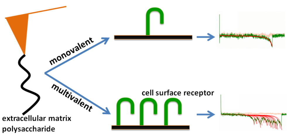 Bano et al develop a platform technology that allows studying the mechanics of individual biomolecular bonds and also how several bonds act together, an aspect particularly important for extracellular matrix polysaccharides, such as hyaluronan, because this polymer binds several proteins or cell surface receptors simultaneously.