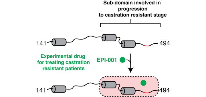 EPI-001, A Compound Active against Castration-Resistant Prostate Cancer, Targets Transactivation Unit 5 of the Androgen Receptor. ACS Chem Biol. 2016 Sep 16;11(9):2499-505. doi: 10.1021/acschembio.6b00182.