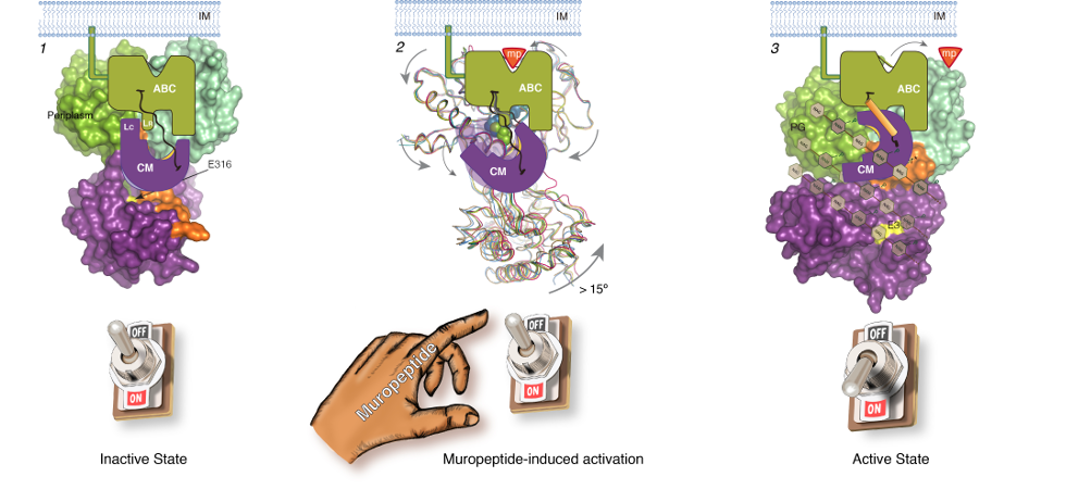 For the first time it is disclosed that the activity of a lytic transglycosylase of Pseudomonas aeruginosa, an important human pathogen, is allosterically regulated by muropeptides.