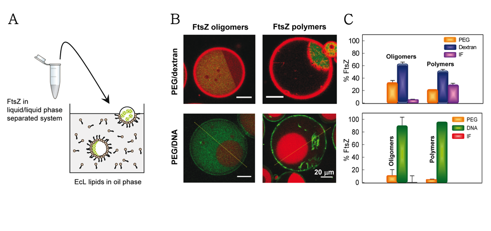 (A) Encapsulation method of two-phase systems into stabilized droplets of E. coli lipids. (B) distribution of FtsZ oligomers and polymers in PEG/dextran (with dextran pseudocolored in green and FtsZ in red), or  in PEG/DNA (PEG pseudocolored in  red and FtsZ in green). (C) Distribution of FtsZ in the mixtures.