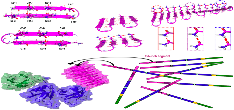 A special class of hyperpolarization strongly stabilizes Asn & Gln side chain H-bonds in amyloids.  This could explain the capacity of the Q/N rich region of TDP-43 (a protein implicated in ALS) to form pathological aggregates.