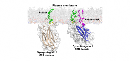 PtdInsP2 and PtdSer cooperate to trap synaptotagmin-1 to the plasma membrane in the presence of calcium. eLife. 2016; 5: e15886.