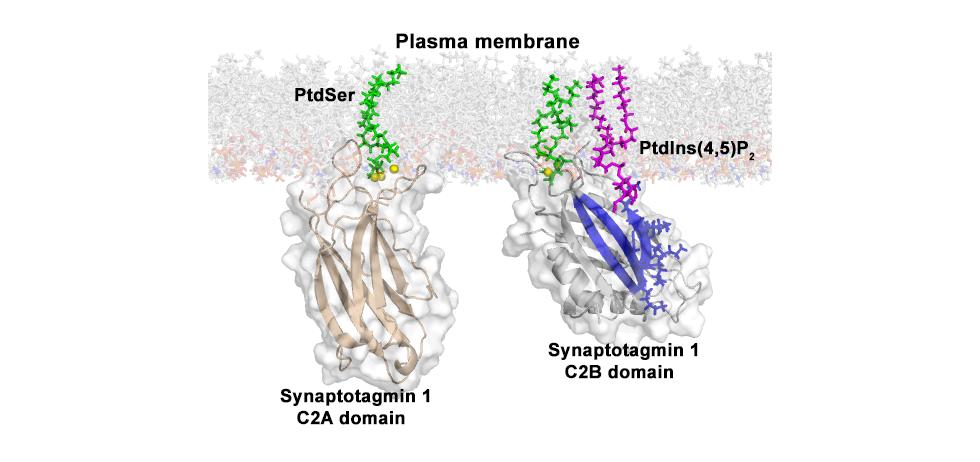 Synaptotagmin 1 binds  to phosphatidylserine (PtdSer) via the Ca2+-binding sites and phosphatidylinositol-4,5-bisphosphate (PtdIns-4,5-P2) via a polybasic lysine patch in the C2B domain.