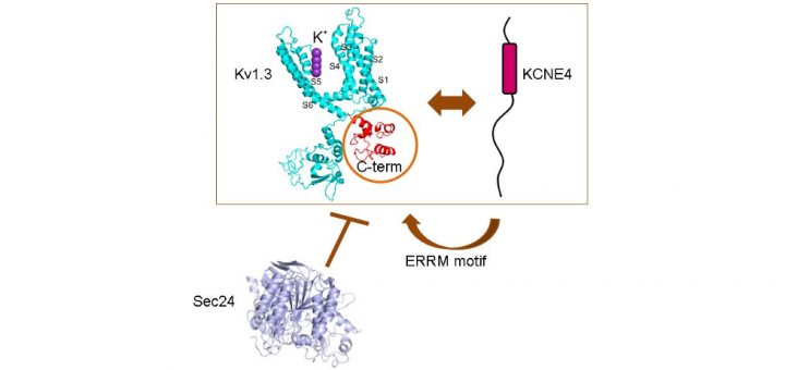 The C-terminal domain of Kv1.3 regulates functional interactions with the KCNE4 subunit.J Cell Sci. 2016 Nov 15;129(22):4265-4277. Epub 2016 Oct 6.