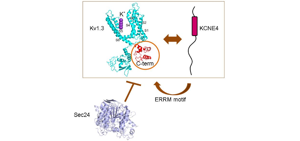 The voltage-gated potassium channel Kv1.3 functions during the immune response. Kv1.3, via its C-term, associates with the KCNE4 subunit which negative modulates the channel. Once KCNE4 interacts with Kv1.3, it retains the channel intracellular because impairs the COPII-dependent forward traffic and transfers a strong endoplasmic reticulum retention motif (ERRM) to the complex.