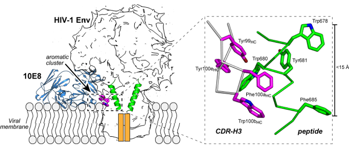 Structural basis for broad neutralization of HIV-1 through the molecular recognition of 10E8 helical epitope at the membrane interface. Sci Rep. 2016 Dec 1;6:38177.