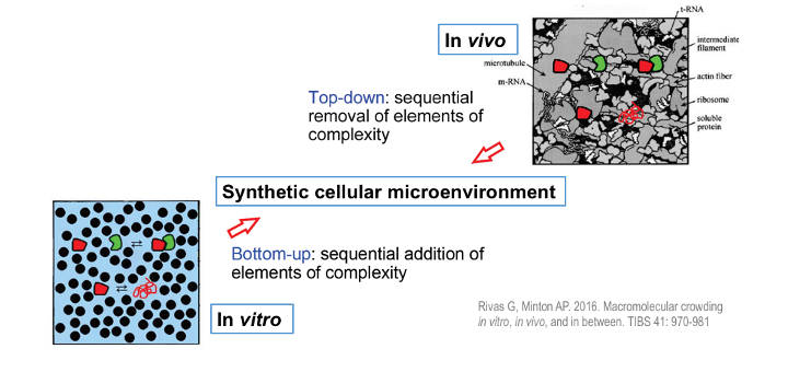 Diagram illustrating crowding studies of macromolecular reactions - folding and binary hetero-association - in vitro, in vivo and in a synthetic medium of intermediate complexity designed to emulate a particular cellular microenvironment.