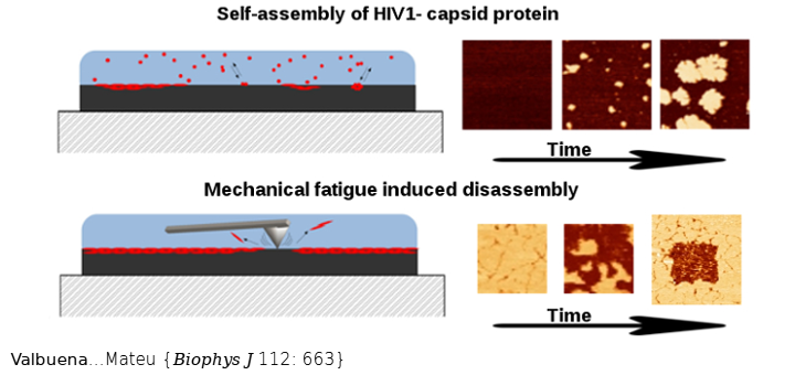 Kinetics of Surface-Driven Self-Assembly and Fatigue-Induced Disassembly of a Virus-Based Nanocoating. Biophys J. 2017 Feb 28;112(4):663-673. doi: 10.1016/j.bpj.2016.11.3209.