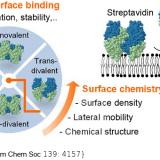 Controlling Multivalent Binding through Surface Chemistry: Model Study on Streptavidin. J Am Chem Soc. 2017 Mar 22;139(11):4157-4167. doi: 10.1021/jacs.7b00540.
