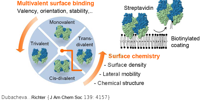 Surfaces with tunable density, mobility and clustering of biotin binding sites are fabricated by controlling the surface chemistry and the valency of surface-anchored streptavidin.