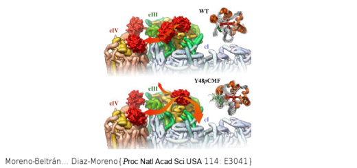 Structural basis of mitochondrial dysfunction in response to cytochrome c phosphorylation at tyrosine 48. Proc Natl Acad Sci U S A. 2017 Apr 11;114(15):E3041-E3050. doi: 10.1073/pnas.1618008114.