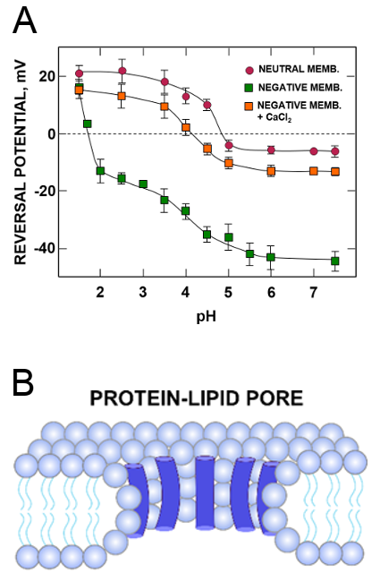 pH modulation of SARS-CoV E protein channel selectivity in neutral and charged lipid membranes in monovalent ions (KCl) and divalent salt (CaCl2) solutions.