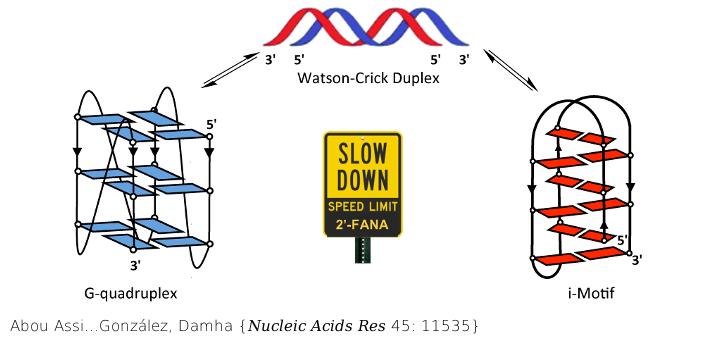 2'-Fluoroarabinonucleic acid modification traps G-quadruplex and i-motif structures in human telomeric DNA. Nucleic Acids Res. 2017 Nov 16;45(20):11535-11546. doi: 10.1093/nar/gkx838.