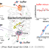 pH-sensitive vibrational probe reveals a cytoplasmic protonated cluster in bacteriorhodopsin. Proc Natl Acad Sci U S A. 2017 Dec 19;114(51):E10909-E10918. doi: 10.1073/pnas.1707993114.